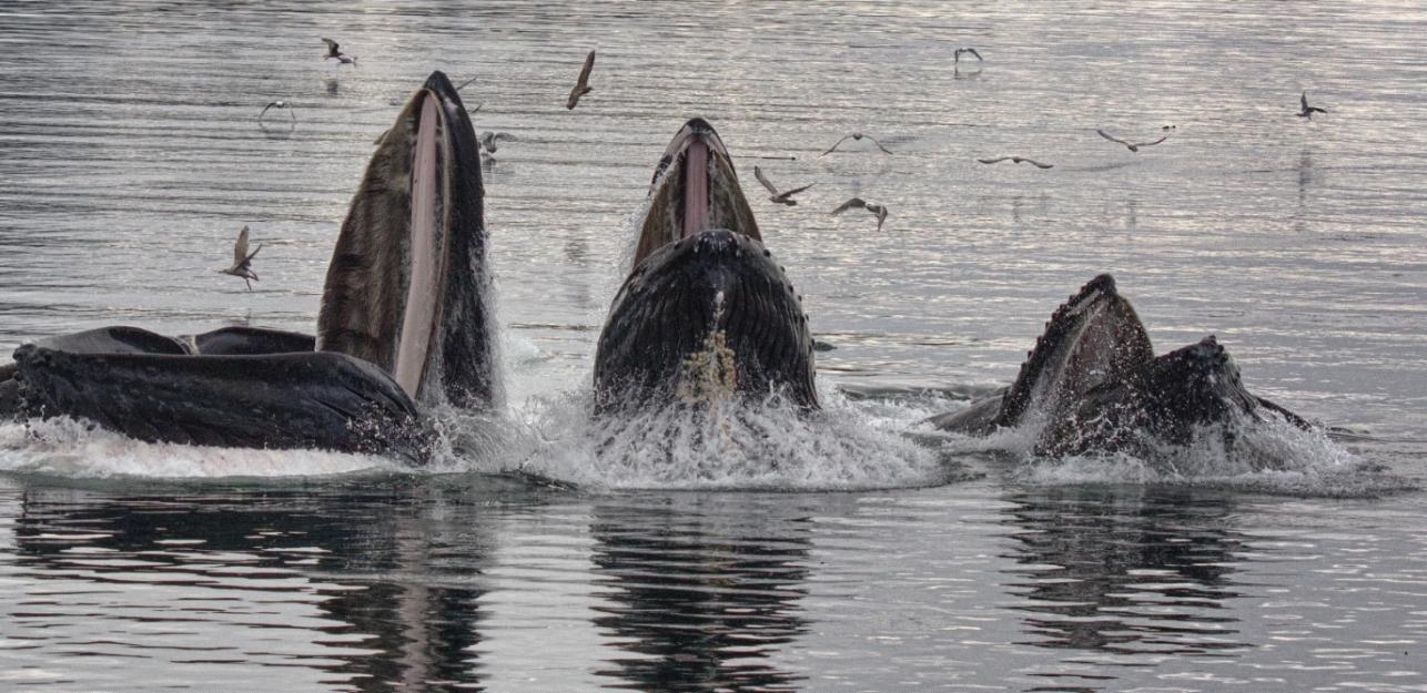 Walgesänge: Buckelwale in der Herde
