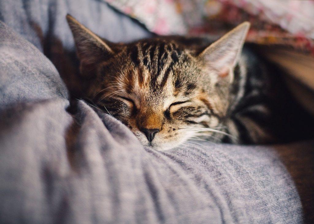 Kleine Katze schläft auf Kissen